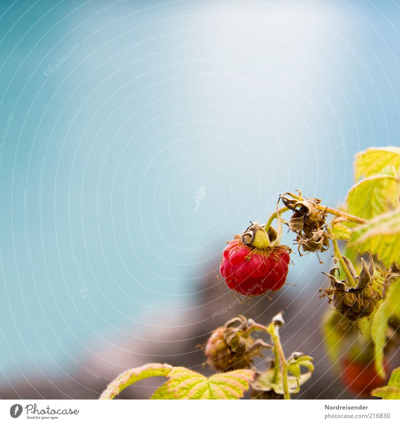 """A """"Q"""" raspberry Food Fruit Organic produce Nature Plant Summer Bushes Faded Growth Healthy Natural Blue Red Colour Raspberry Berries Delicious Harvest Mature"""