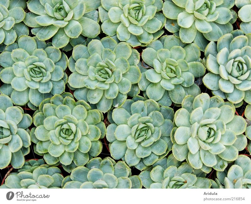 Nature Green Plant Leaf Life Background picture Environment Growth Round Pattern Ground cover plant Sempervivum Rock garden plants