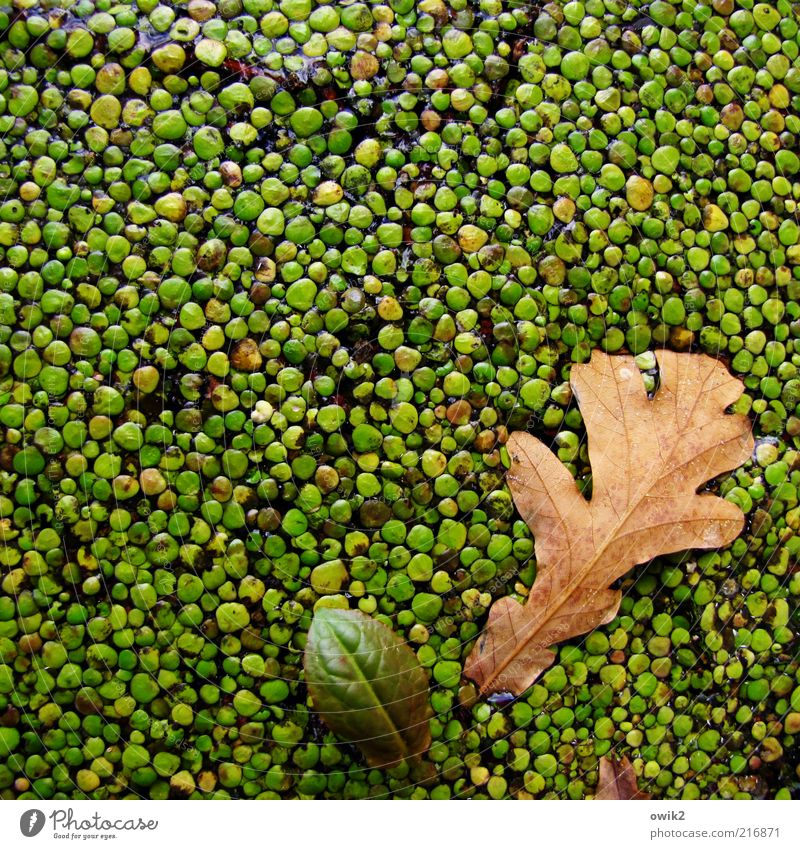 Nature Green Plant Leaf Autumn Brown Environment Wet Growth Uniqueness Wild Natural Many Attachment Float in the water