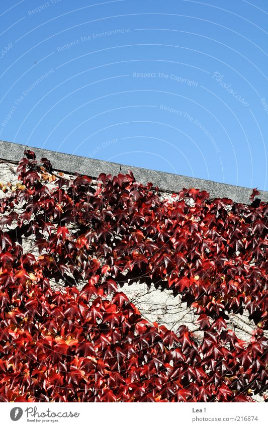 Sky Blue Red Leaf Colour Autumn Wall (building) Environment Facade Esthetic Seasons Beautiful weather Blue sky Creeper Early fall
