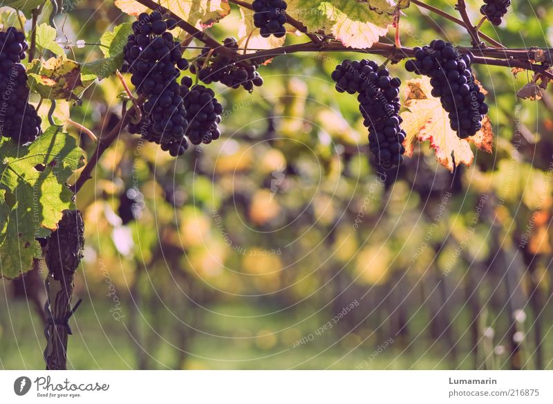 late vintage Food Fruit Environment Plant Agricultural crop Field Esthetic Fresh Delicious Natural Juicy Beautiful Idyll Growth Bunch of grapes Vineyard