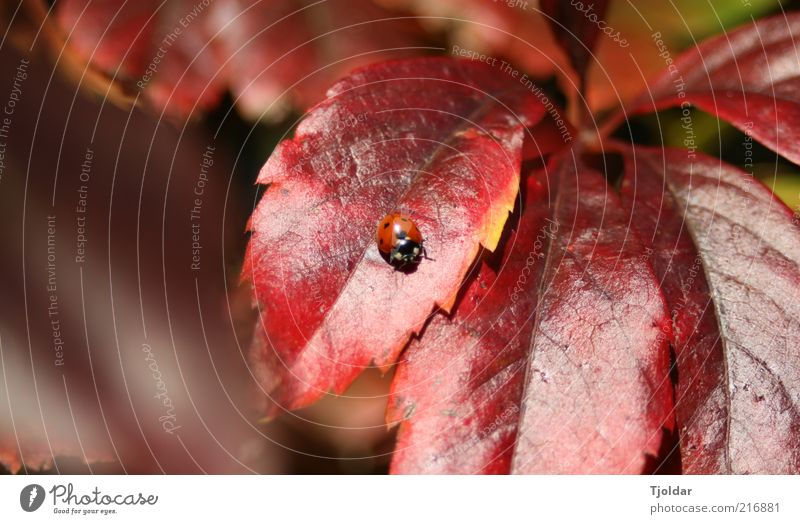 Nature Plant Red Leaf Animal Autumn Brown Insect Beautiful weather Beetle Ladybird Autumn leaves Autumnal Autumnal colours Virginia Creeper