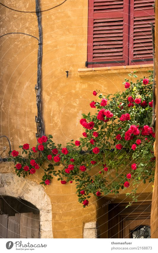 Wall, climbing roses, windows Summer House (Residential Structure) Beautiful weather Flower Rose Provence France Village Small Town Old town Wall (barrier)