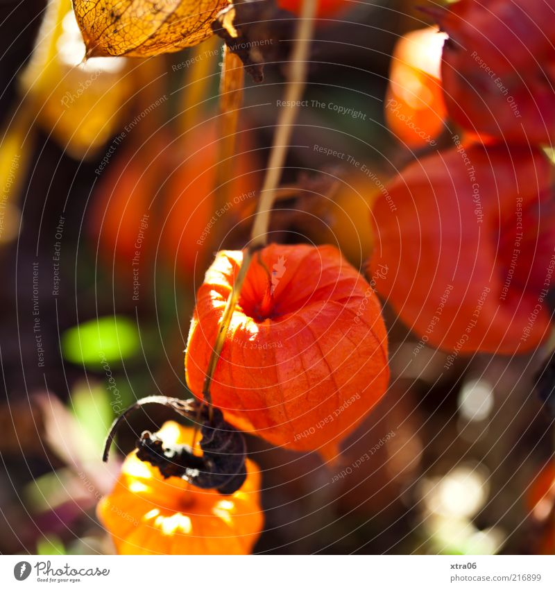 Nature Plant Red Orange Environment Esthetic Exceptional Dry Physalis