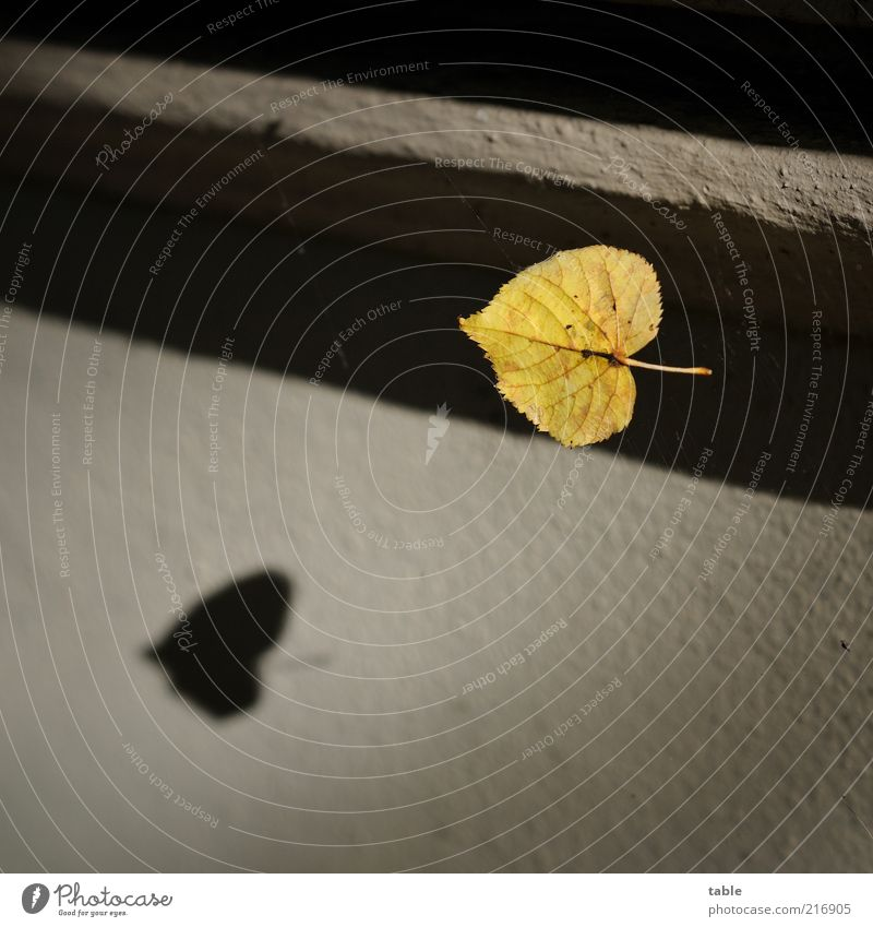 flight shadow Environment Leaf Wall (barrier) Wall (building) Facade To fall Flying Old Yellow Gold Gray Black Emotions Nature Transience Change Rachis Stalk