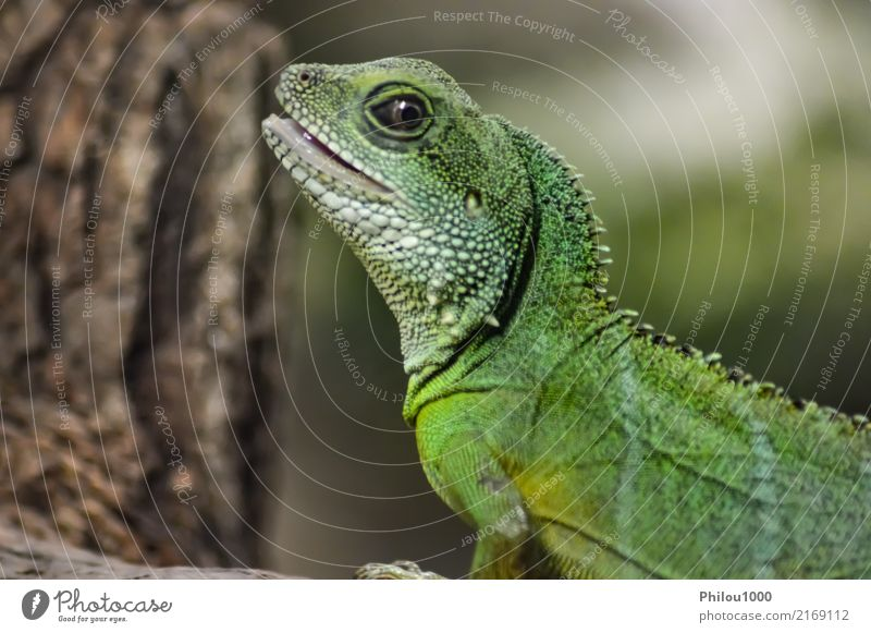 Green Iguana on a branch in the park Exotic Nature Animal Forest Yellow Colour chameleon colourful Living thing Dragon Ecological endangered insectivore