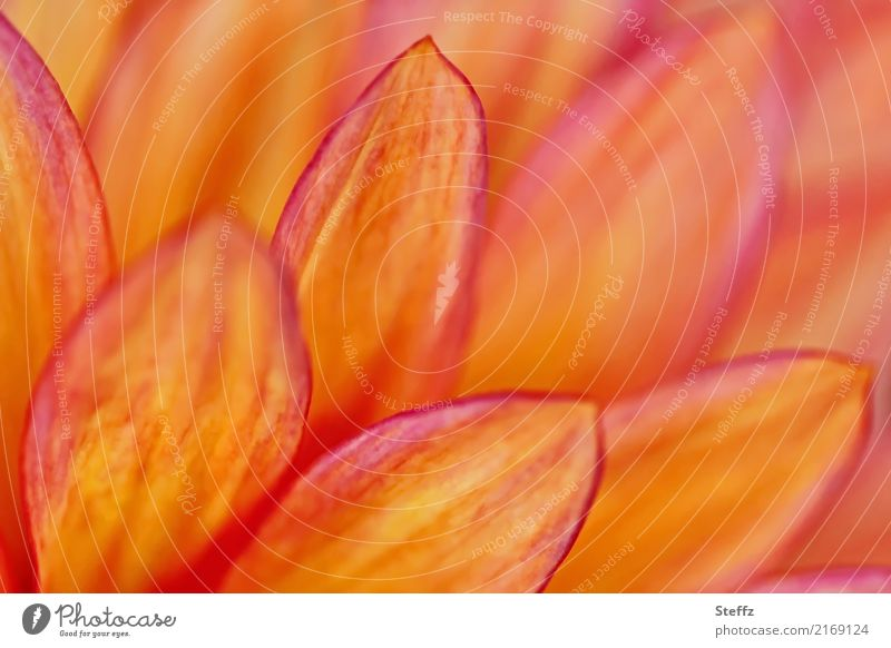 Petals of a flowering dahlia dahlia blossom Georgians petals flowering flower Flower Blossom Blossoming garden flower blooming garden flower