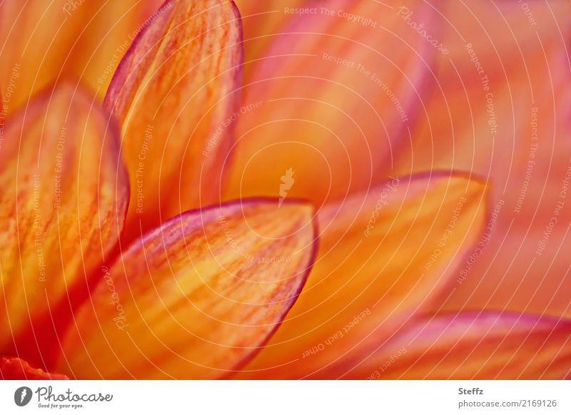 Petals of a dahlia dahlia blossom flowering dahlia Georgians petals Flower Blossom garden flower blooming garden flower Ornamental flower Ornamental plant