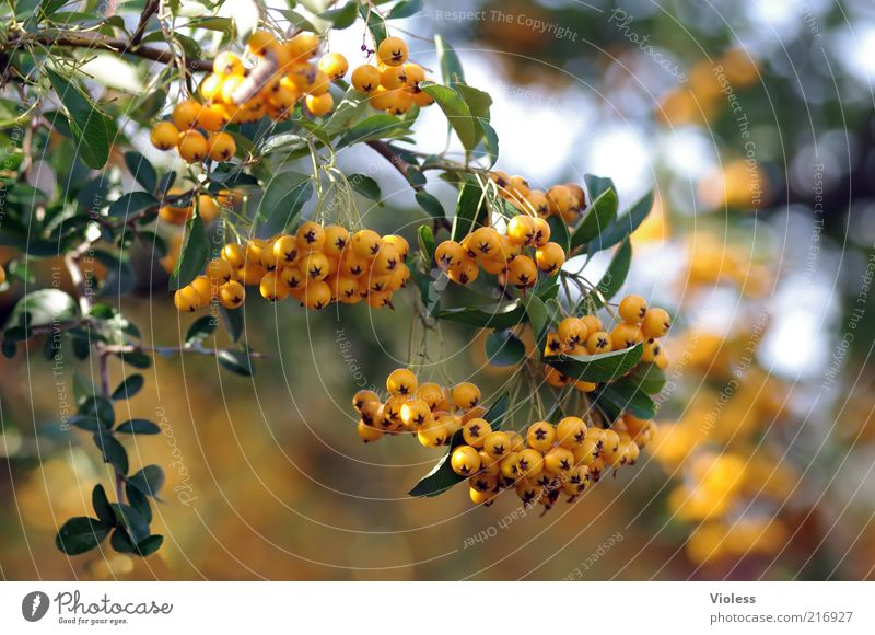 sea buckthorn branch Nature Plant Beautiful weather Bushes Illuminate Hippophae Sallow thorn Orange Colour photo Close-up Sunlight Blur Deserted