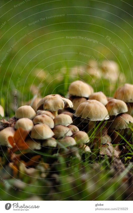 Calm Meadow Growth Multiple Lawn Many Mushroom Portrait format Brownish