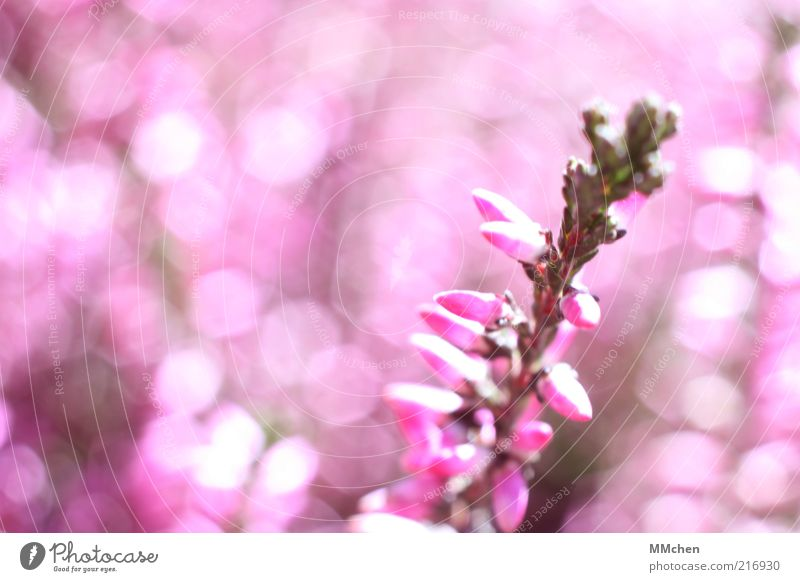 pinky Pink Green Mountain heather Plant Flower Blossom Glittering Bud Heather family Blur Deserted Nature