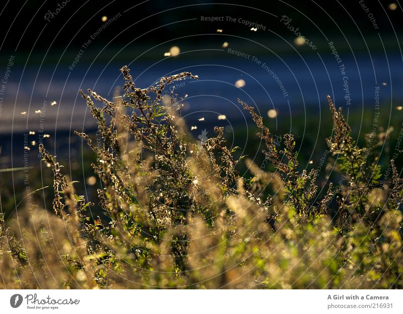 dancing in the dusk Nature Plant Autumn Beautiful weather Leaf Flying Glittering Natural Blue Yellow Gold Glowworms Flock Grass Street Landscape format