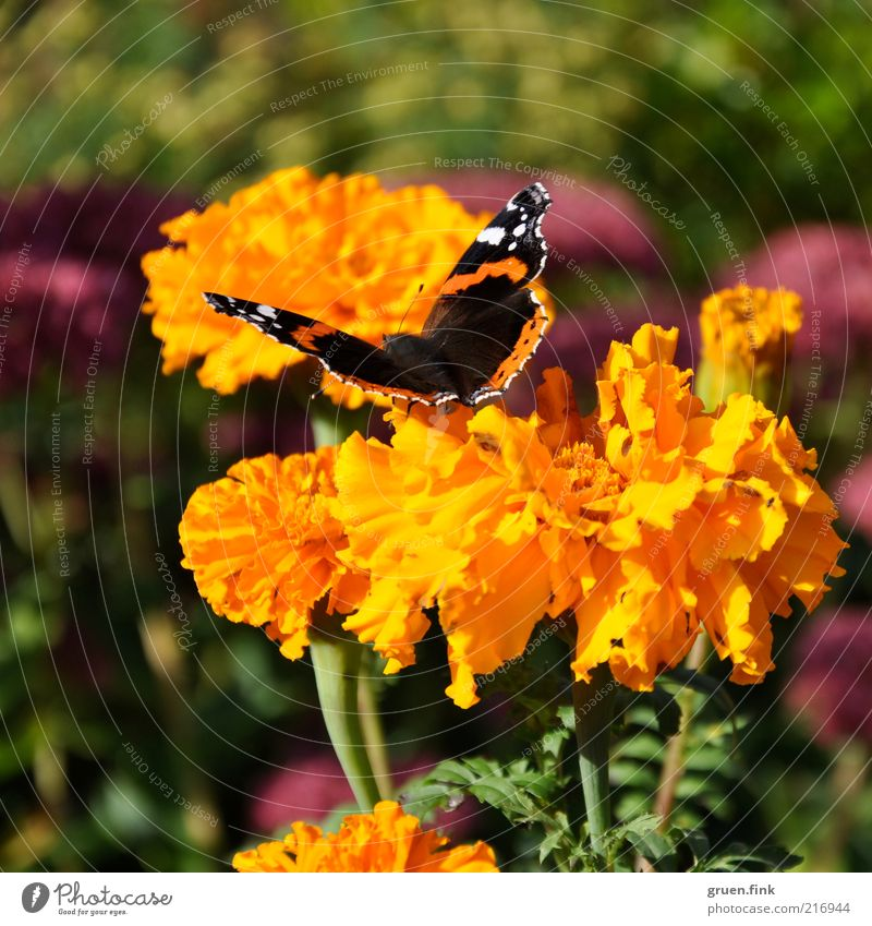 admiral Nature Plant Animal Flower Blossom Marigold Garden Wild animal Butterfly Red admiral 1 Esthetic Beautiful Warmth Multicoloured Yellow Green Pink Idyll