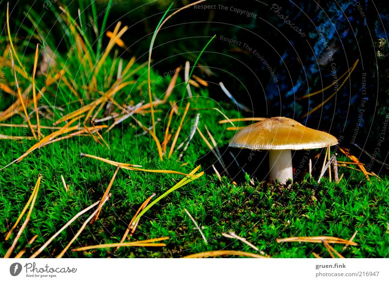 function Nature Plant Autumn Tree Grass Moss Mushroom Beautiful Brown Green Loneliness Discover Fir needle Colour photo Exterior shot Close-up Deserted