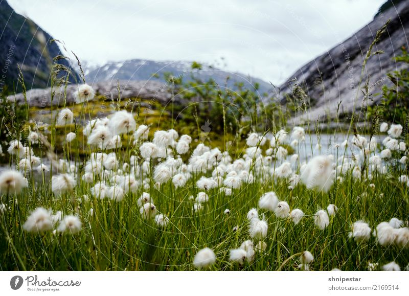 Wool flowers in Nigardsbreen, Norway Calm Vacation & Travel Tourism Trip Adventure Far-off places Freedom Expedition Camping Mountain Hiking Environment Nature