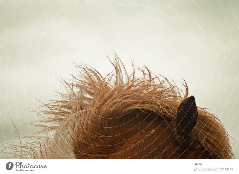Sounds good. Weather Wind Gale Animal Farm animal Horse Ear 1 Listening Føroyar Pony Iceland Pony Mane Coat color Pelt Colour photo Subdued colour Detail