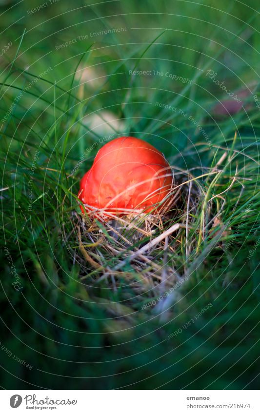 Nature Green Plant Red Autumn Grass Small Weather Environment Climate Damp Mushroom Poison Mushroom cap Amanita mushroom Wild plant