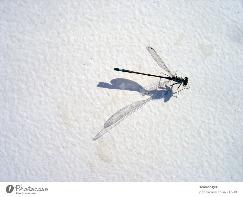 White Sun Wing Dragonfly