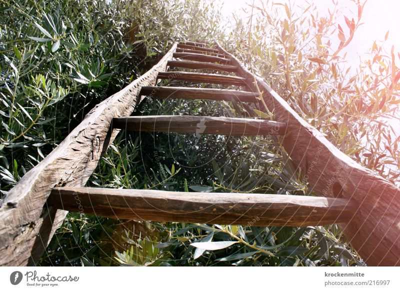 olive sprouts Environment Nature Plant Summer Tree Olive tree Ladder Rung Work and employment Hot Warmth Green Leaf Wood Leaf canopy Harvest Olive grove