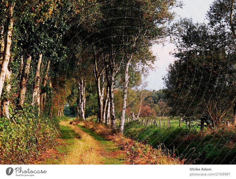 On the way in the Teufelsmoor Design Arrange Decoration Wallpaper Nature Landscape Plant Earth Summer Autumn Tree Grass Leaf Birch tree Birch avenue Birch wood