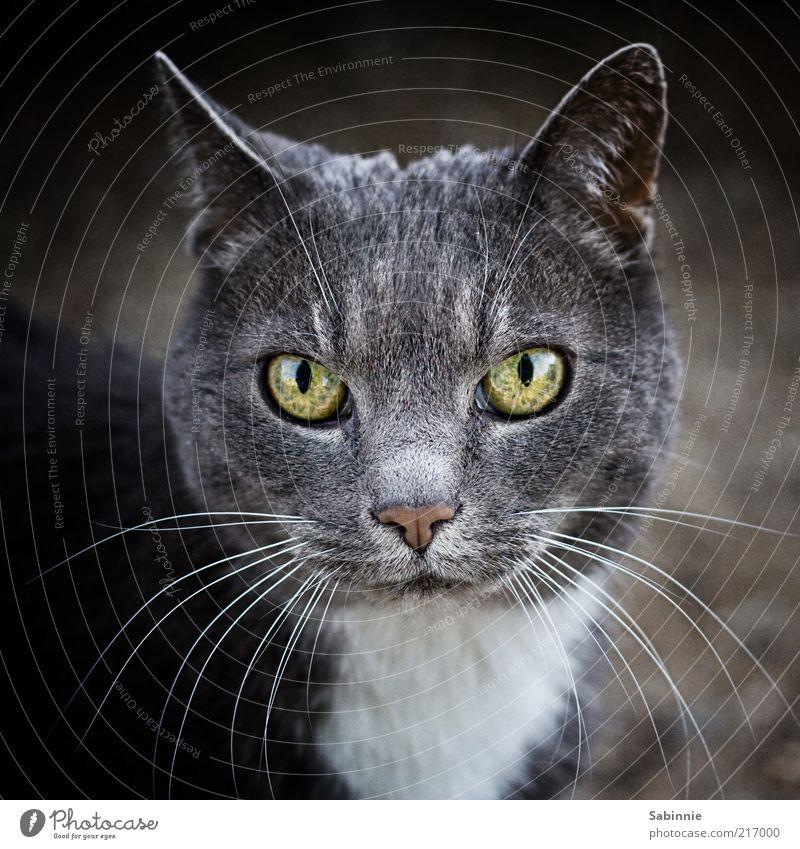 White Green Beautiful Black Animal Eyes Cat Gray Nose Esthetic Ear Pelt Pet Domestic cat Whisker Animal portrait