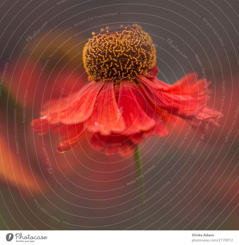 The dancer Style Design Arrange Decoration Wallpaper Image Poster Canvas Nature Plant Summer Autumn Flower Blossom sun bride Sunflower helenium Pistil