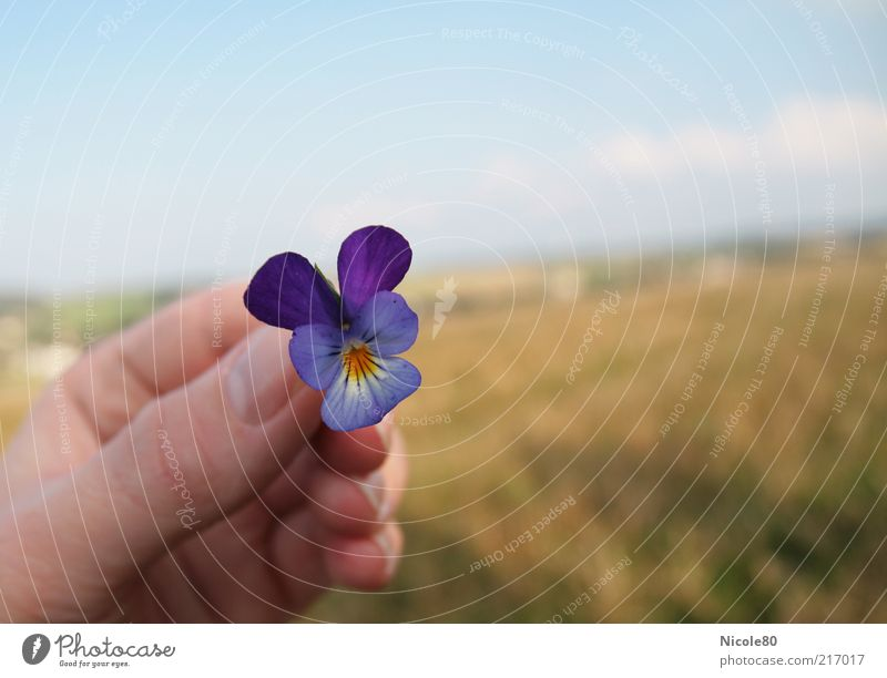 wild pansy Nature Landscape Plant Autumn Blossom Fresh Delicate Pansy Pansy blosssom Hand To hold on Picked Colour photo Exterior shot Copy Space right Day