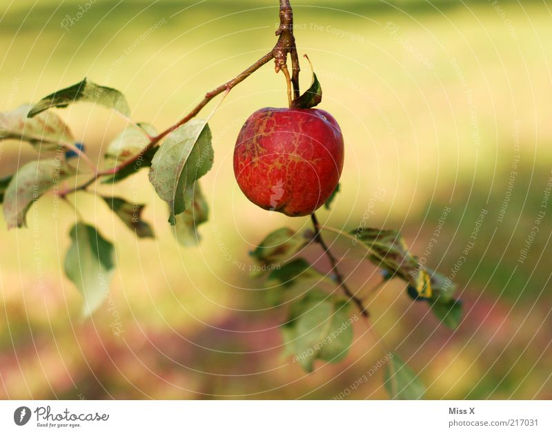 Nature Tree Red Summer Leaf Nutrition Autumn Garden Small Food Fruit Fresh Sweet Growth Round Apple