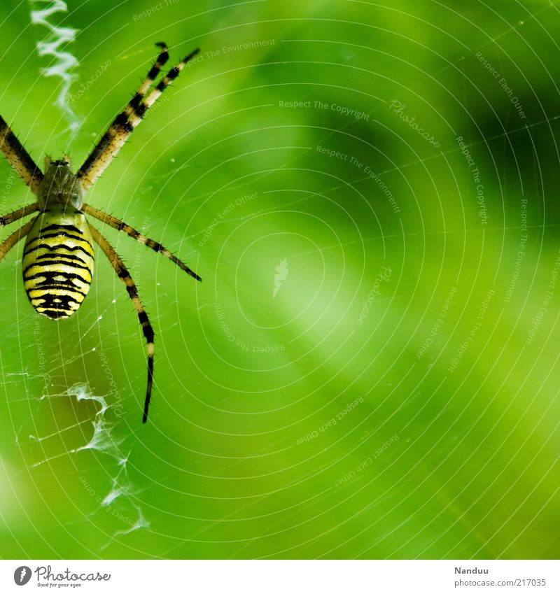 eight-legged friend Animal Wild animal Spider 1 Yellow Black-and-yellow argiope Spider's web Nature Warning colour Striped Natural Spider legs Blur Colour photo