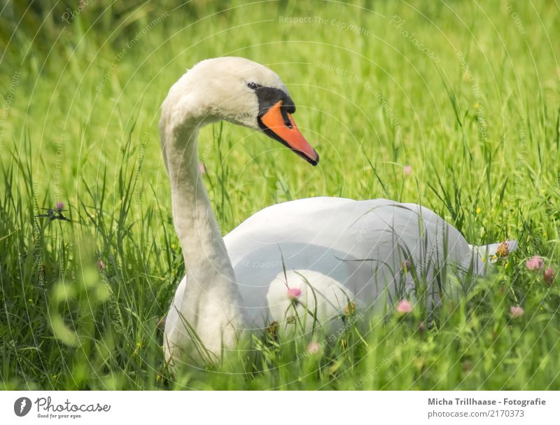 Swan on the meadow Environment Nature Plant Animal Sun Sunlight Beautiful weather Flower Grass Wild plant Meadow Wild animal Bird Animal face Wing Head Beak 1