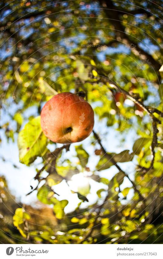 an apple doesn't fall far from the tree. Apple Red Healthy Vitamin Nature Natural Growth Ecological Suspended Hang Tree Apple tree Autumn Seasons Sky October