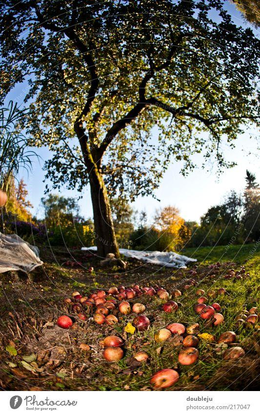 Sky Tree Autumn Garden Fruit Multiple Ground Lie Apple Seasons Harvest Many Beautiful weather October Apple tree Fruit trees