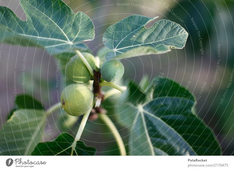 #A# Fig for fig Art Esthetic Fig leaf Fig tree Mediterranean Mature Delicious Green Foliage plant Ecological Organic produce Organic farming Italy