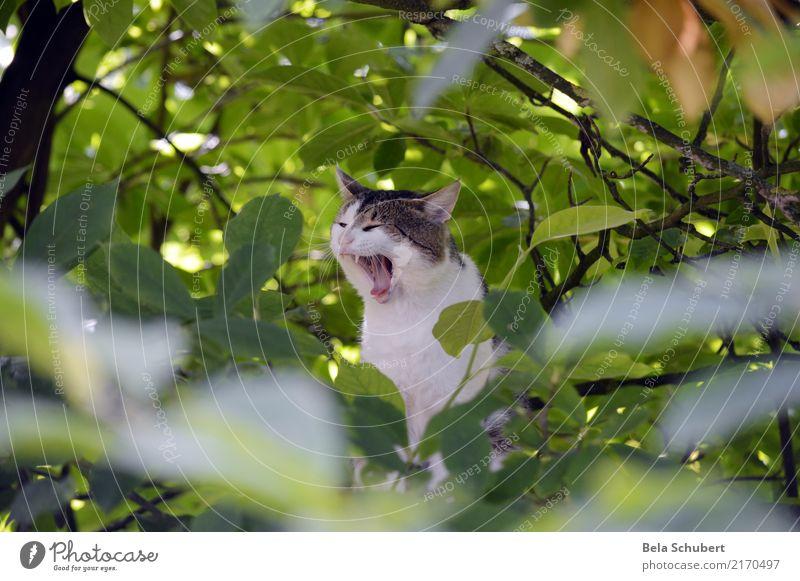 Kati yawns Animal Pet Cat Animal face Pelt Paw 1 Wood Authentic Brash Happiness Happy Infinity Cuddly Rebellious Athletic Soft Joy Contentment