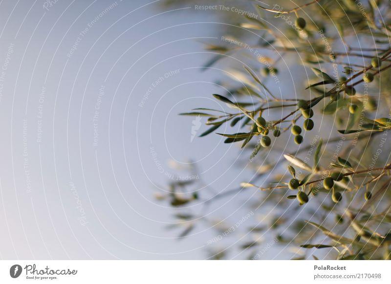 #A# Olives in Chianti Nature Esthetic Olive tree Olive oil Olive grove Olive leaf Olive harvest Mediterranean Sky Green Italy Summer vacation Decent