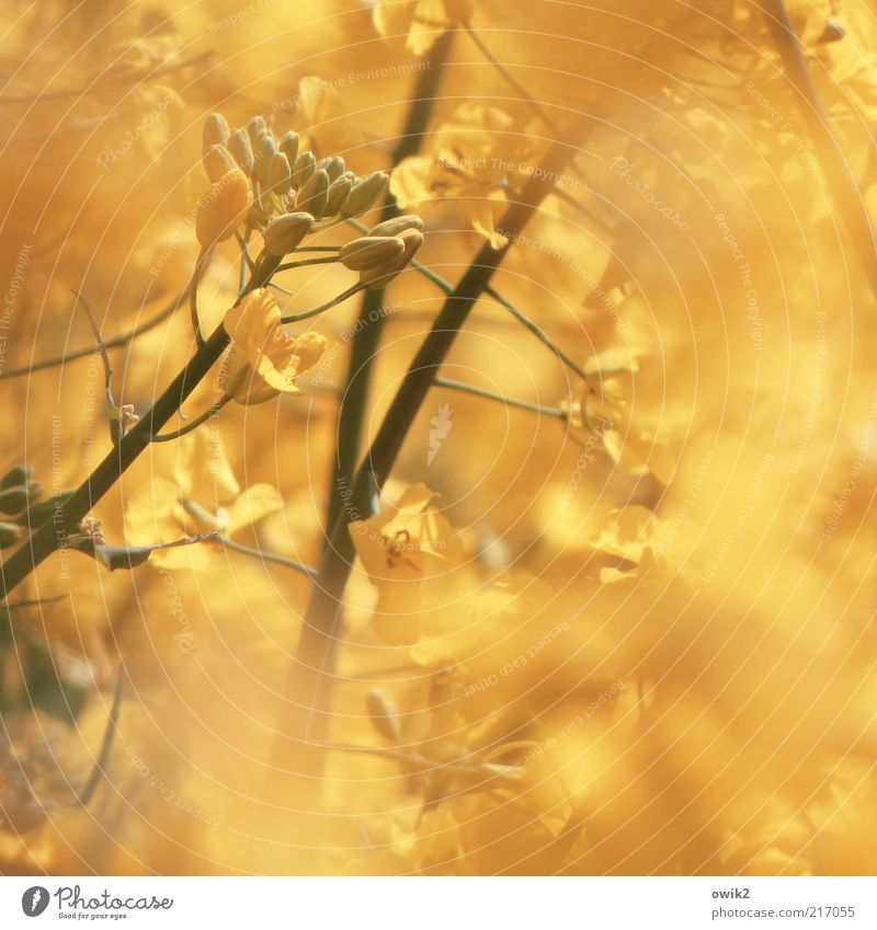 goldfinger Environment Nature Plant Spring Climate Weather Blossom Agricultural crop Canola Canola field Agriculture forage plant Stalk Fruit Seed Blossoming