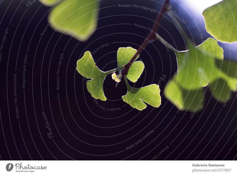 Nature Green Blue Plant Leaf Fresh Hope New Growth Twig Ginko Leaf green Light green