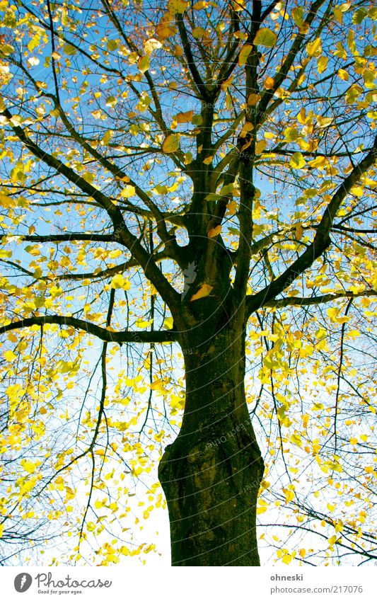 Neon Golden Nature Plant Cloudless sky Autumn Tree Leaf Twigs and branches Branch Tree trunk Bright Optimism Hope Life Colour photo Multicoloured Sunlight
