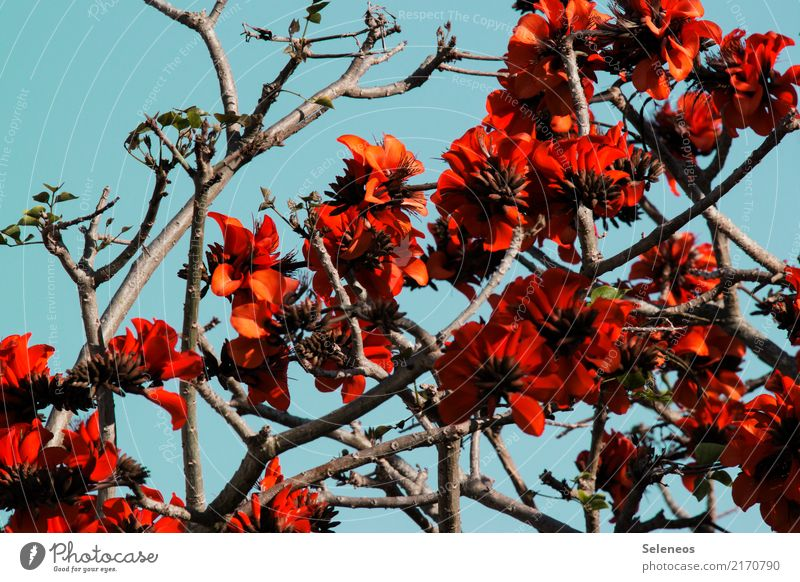 flowering coral tree Far-off places Environment Nature Spring Plant Tree Leaf Blossom Exotic Blossoming Natural Colour photo Exterior shot