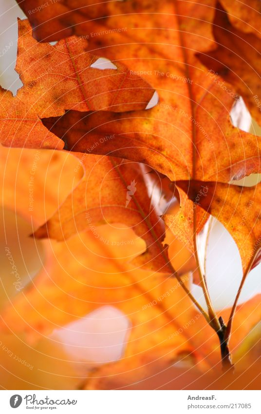 oak leaves Environment Nature Plant Autumn Leaf Red Autumn leaves Oak tree Oak leaf Orange Autumnal colours October Colour photo Exterior shot Close-up Detail