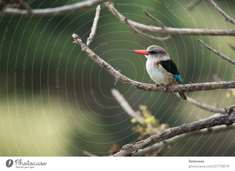 At observation posts Freedom Environment Nature Tree Branch Park Animal Wild animal Bird Animal face Kingfisher 1 Observe Near Natural Ornithology Colour photo