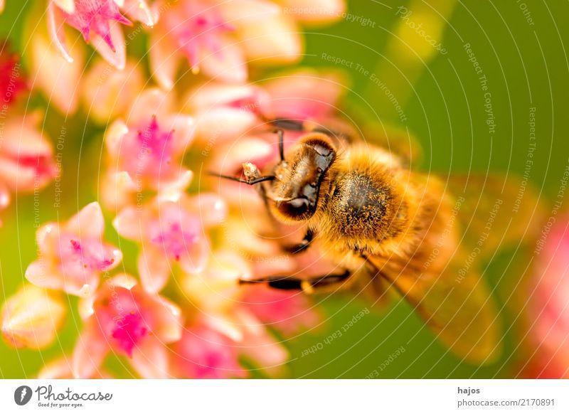 Bee on big stonecrop Beautiful Nature Plant Animal Blossom Wild animal Blossoming Illuminate Green Pink Romance Apis mellifera Insect Grey stonecrop Sedum