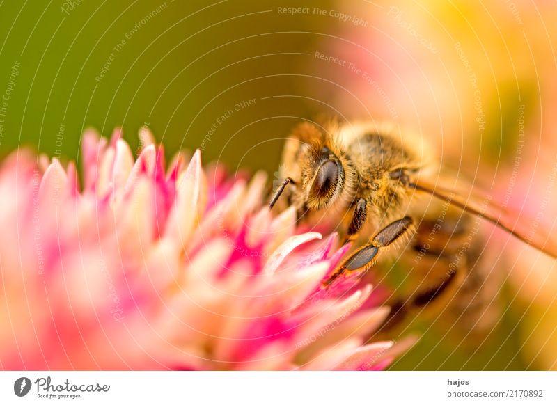 Bee on big stonecrop Beautiful Nature Plant Animal Blossom Wild animal 1 Illuminate Brown Green Pink Romance Apis mellifera Insect Grey stonecrop Sedum