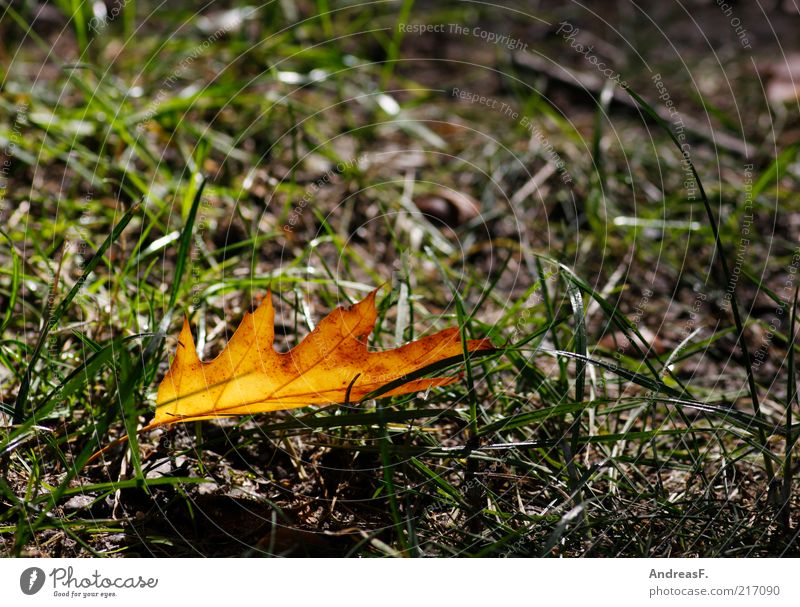 Autumn just Environment Nature Plant Grass Leaf Oak tree Oak leaf Autumn leaves Orange Autumnal colours Individual Colour photo Detail Copy Space right