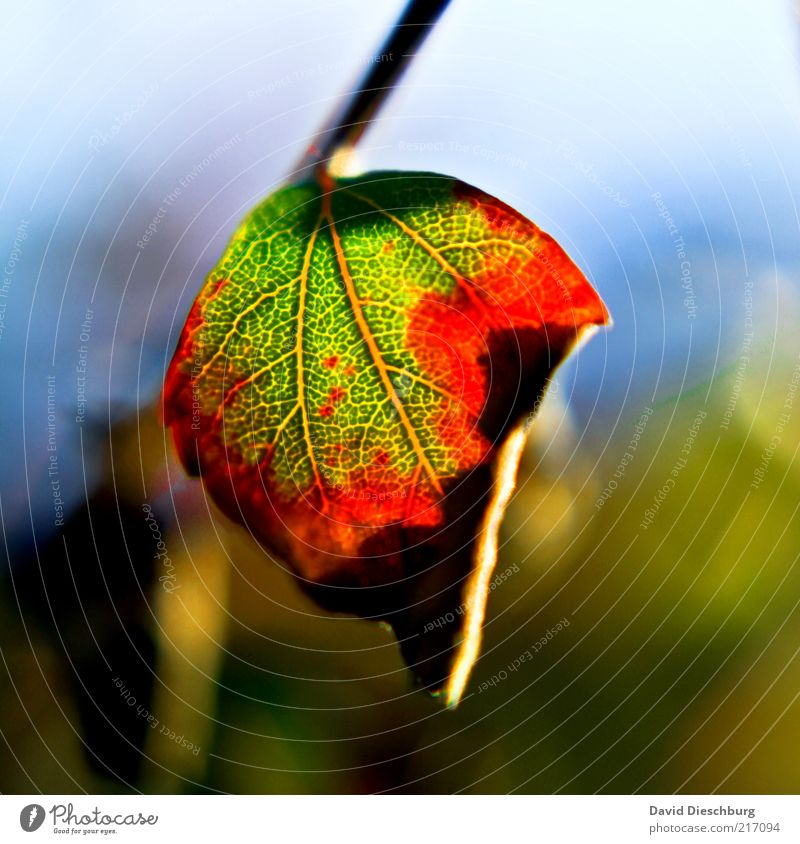 I love the autumn Nature Plant Autumn Leaf Green Red Autumn leaves Autumnal Autumnal colours Early fall Rachis Leaf green Seasons Hang Shriveled October