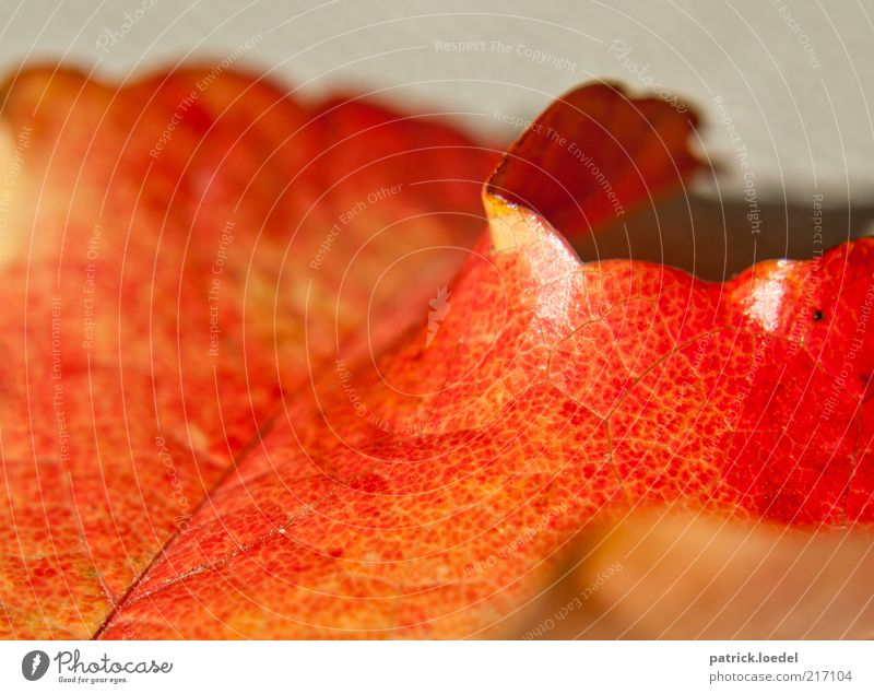 Nature Red Autumn Emotions Moody Background picture Environment Esthetic Transience Illuminate Partially visible Section of image Rachis Autumn leaves Vaulting