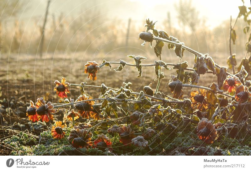 Frost in the garden Nature Water Old Sky White Sun Flower Green Blue Plant Red Yellow Snow Autumn Blossom Garden
