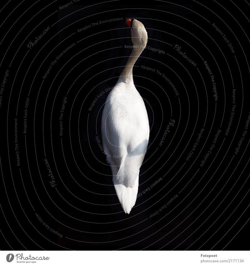 the swan Animal Swan 1 Elegant Black White Serene Nature Calm Weightlessness Colour photo Exterior shot Day Shadow Contrast Sunlight Bird's-eye view