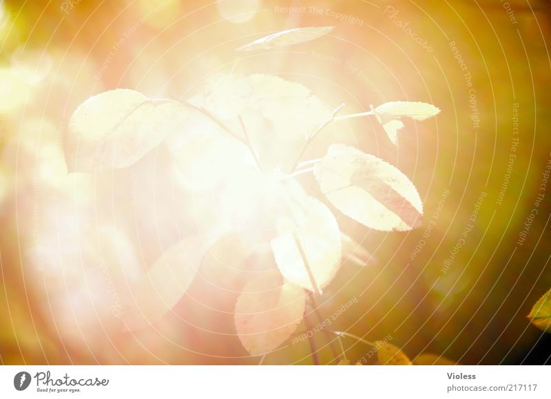 incidence of light Plant Sunlight Autumn Leaf Illuminate Bright Warmth Brown Yellow Gold Overexposure Colour photo Exterior shot Close-up Reflection Blur