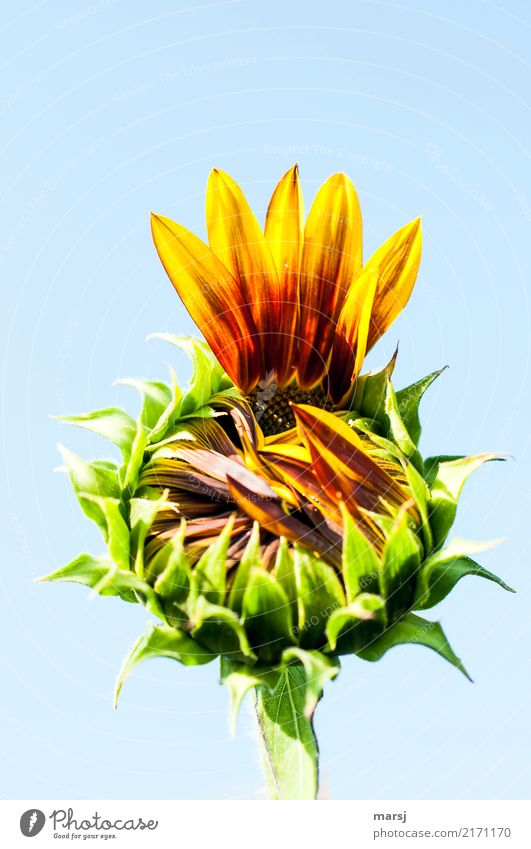 give me five Nature Summer Autumn Plant Flower Blossom Agricultural crop Sunflower Blossoming Fresh Healthy Beginning Undo Incomplete Colour photo Multicoloured